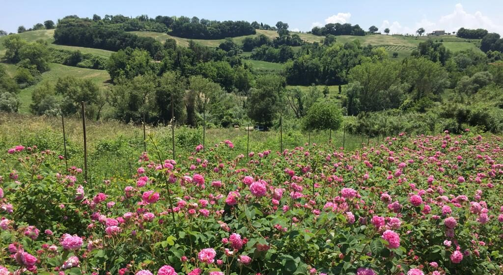 Fioritura rose Herbio