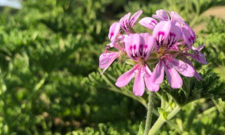 Geranio: fiore d'altri tempi